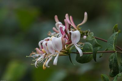Honeysuckle Family - Gedebladfamilien