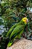 Yellow headed green parrots at the Bird Gardens, Hong Kong, China, Asia.