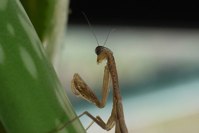Immature Common Mantis