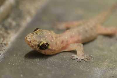 A young Chinese house Gecko, less that 30mm in length.