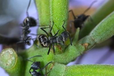 A velvety Tree Ant