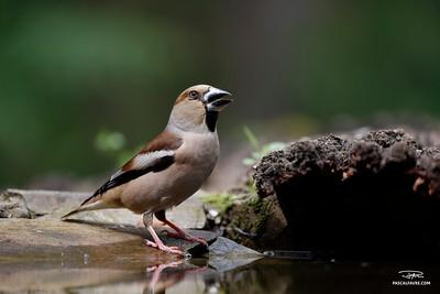 Gros-bec casse-noyaux/Hawfinch