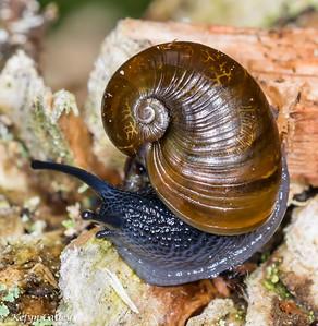 MOLLUSCA: Gastropoda: Zonitidae: Vitrinizonites latissimus, glassy grapeskin, slug snail
