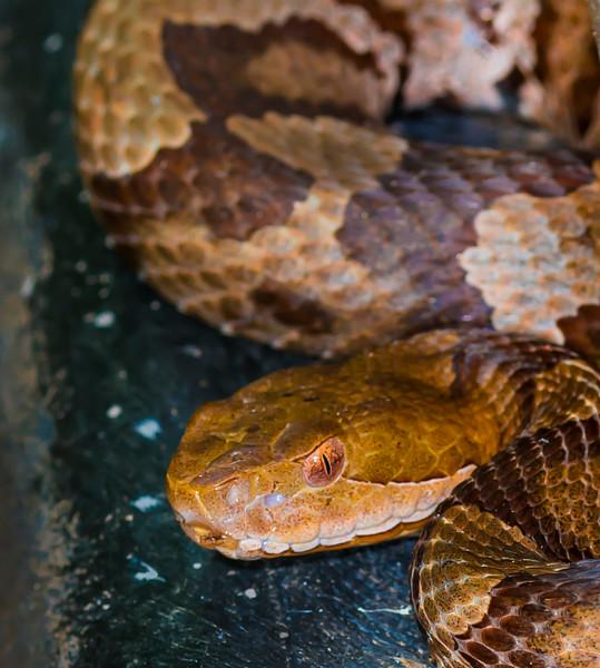 REPTILIA: Squamata: Viperidae: Agkistrodon contortrix, copperhead
