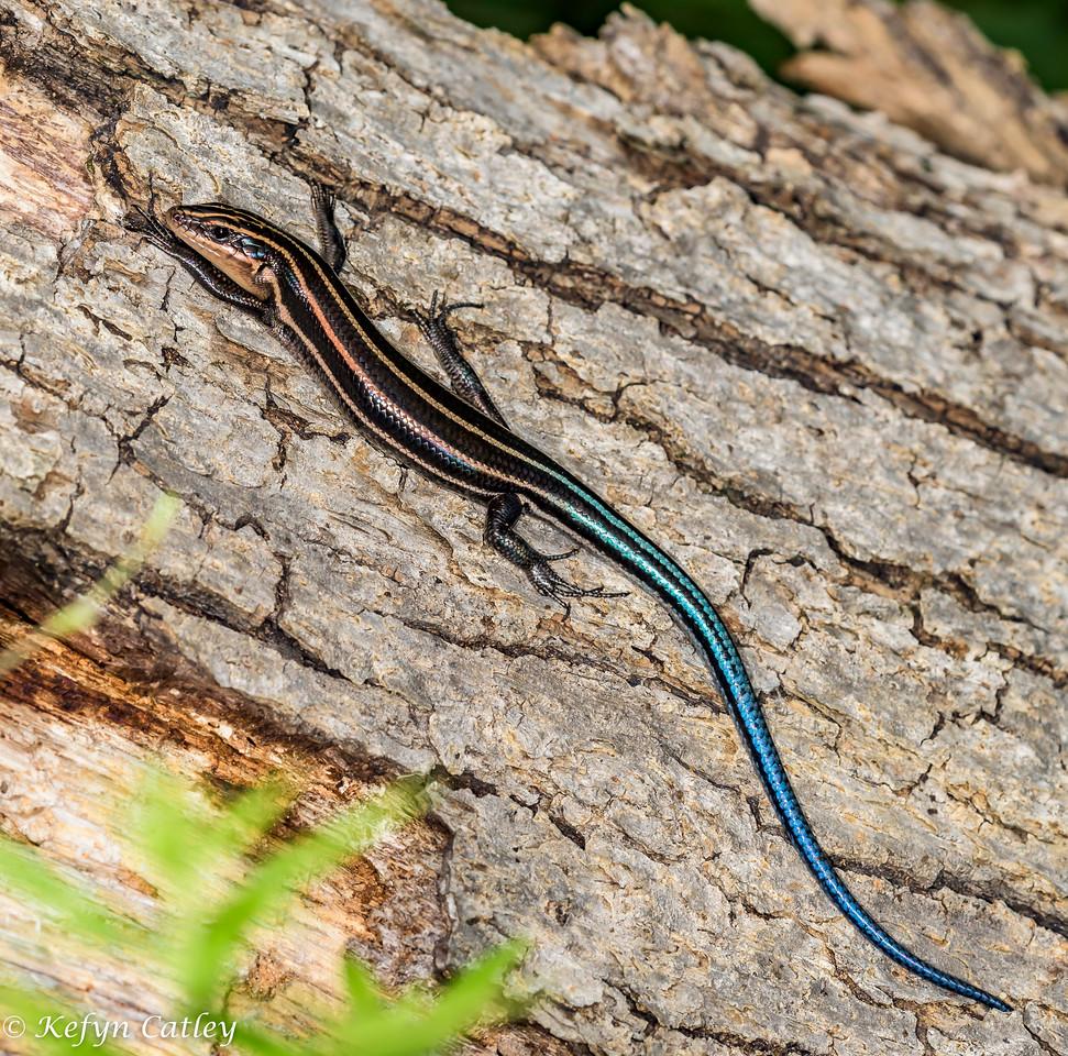 REPTILIA:  Squamata: Scincidae:  Plestiodon fasciatus, fivelined skink