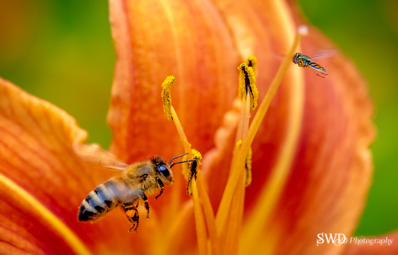 Pollinator and Friend (Hoverfly)