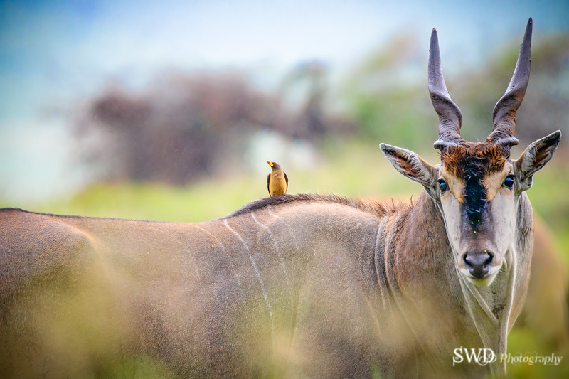 Eland and Friend