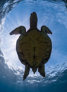 Honu Undercarriage