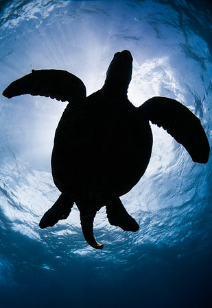 Green Sea Turtle Silhouette, Male