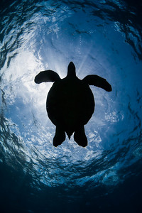 Green Sea Turtle Silhouette, Female