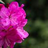 Pink Rhodies