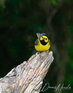 Hooded Warbler-1