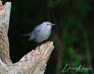 Cat Bird-1