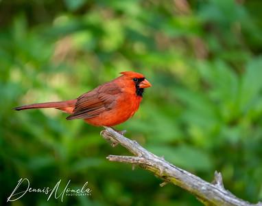 Cardinal 2-1