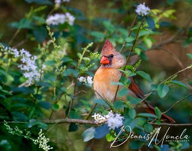 Female Cardinal-1