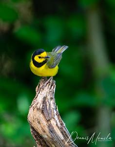 Hooded Warbler-2