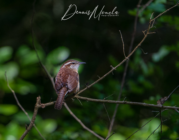 Carolina Wren Day 2-1