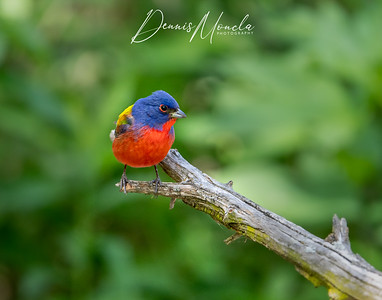 Painted Bunting Day 3-7