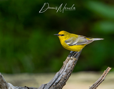 Blue-winged Warbler Day 3-1