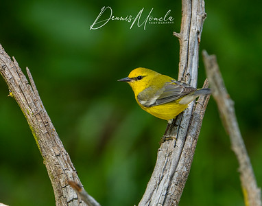Blue-winged Warbler Day 3-2