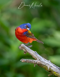 Painted Bunting Day 3-6