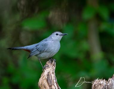 Gray Catbird Day 3-2