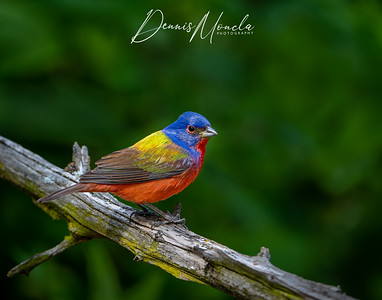 Painted Bunting Day 3-9