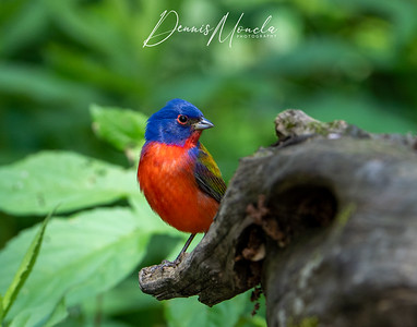 Painted Bunting Day 3-4