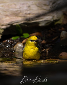 Blue-winged Warbler Day 3-3