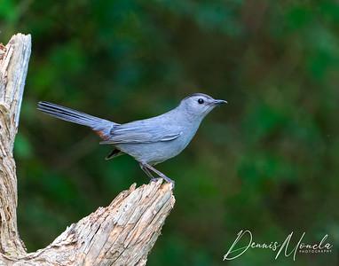 Gray Catbird Day 3-1