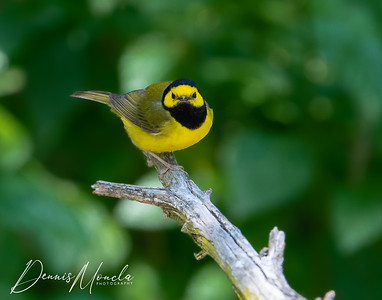 Hooded Warbler Day 1-2