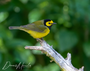 Hooded Warbler Day 1-3