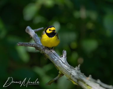 Hooded Warbler Day 1-6