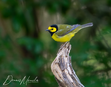 Hooded Warbler Day 1-5