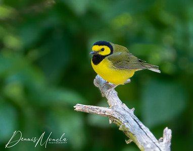 Hooded Warbler Day 1-1