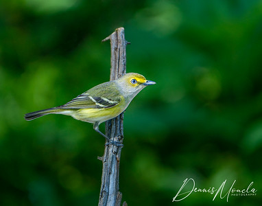 White-eyed Vireo Day 1-1