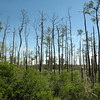 Dead trees due to salinity, Dorchester County, MD.