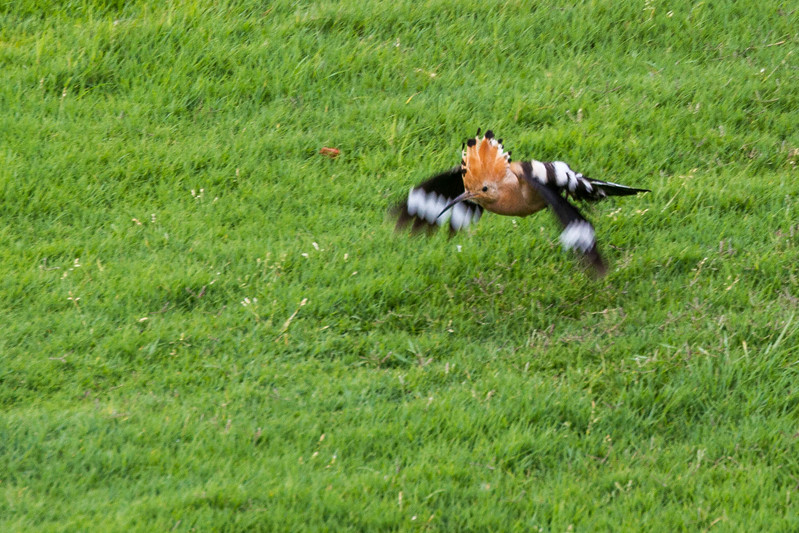Hoopoe - Hærfugl