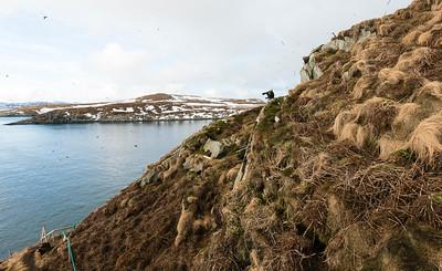 Hornøya, vue to Reinøya at Vardø, Varanger, North Norway