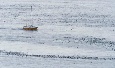 Displaying Guillemots rafting on the sound south of Hornøya before breeding begins, Vardø, Varanger, North Norway.