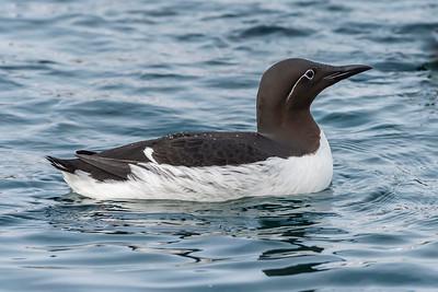 Guillemots - Uria aalge - displaying off Hornøya before breeding begins, Vardø, Varanger, North Norway.
