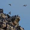 Breeding cliffs - beginning of breeding, Hornøya, Vardø, Varanger, North Norway.