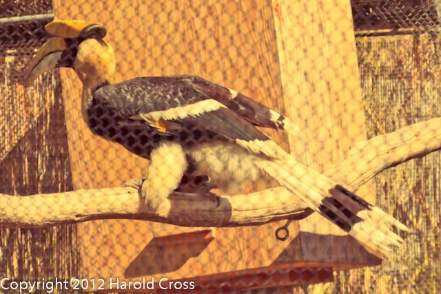 A Great Hornbill taken Feb. 21, 2012 in Tucson, AZ.