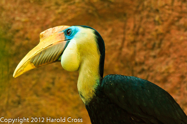 A Wrinkled Hornbill taken July 19, 2012 in Albuquerque, NM.