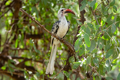 Northern Red-billed Hornbill, Samburu, Kenya, 27 August 2005