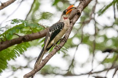 Jackson's Hornbill, Baringo, Kenya, 1 November 2007