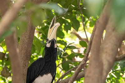 Oriental Pied Hornbill, Sungei Buloh, Singapore, 16 November 2019