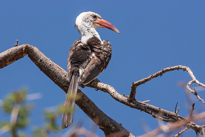Northern Red-billed Hornbill, Samburu, Kenya, 30 October 2007