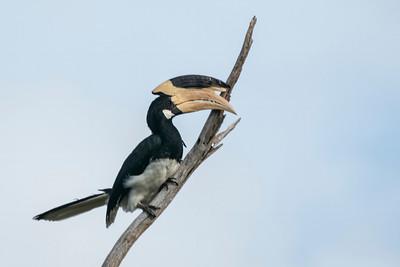 Malabar Pied Hornbill, Udawalawe, Sri Lanka, 24 August 2019