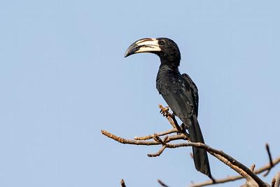 African Pied Hornbill, Makasutu, Gambia, 22 February 2020